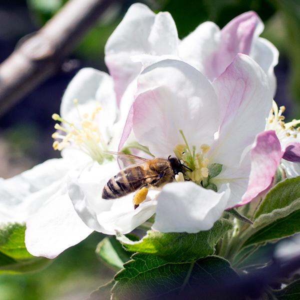 Nahaufnahme einer Apfelblüte mit Biene