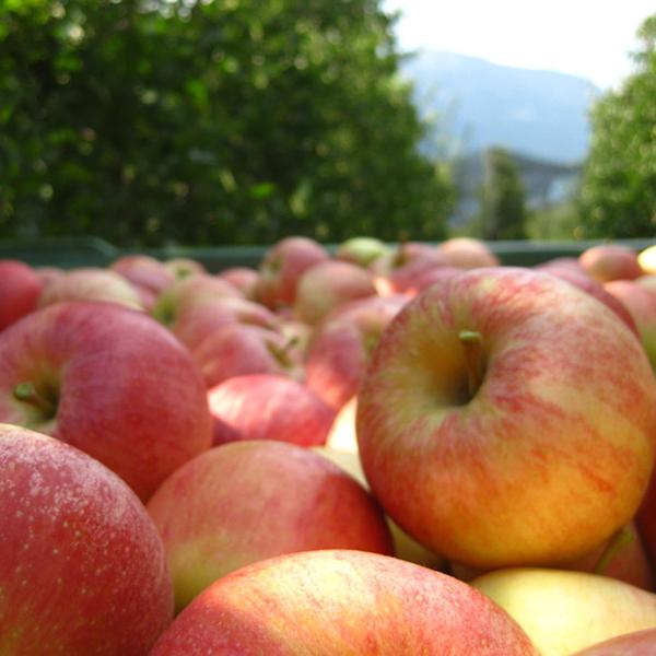 Frisch geerntete Äpfel.