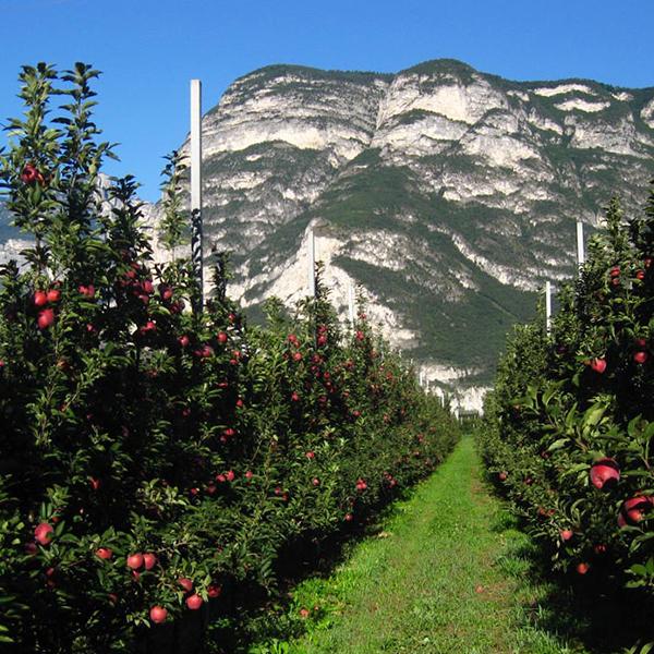 Eine Reihe Äpfelbäume im Südtiroler Unterland.