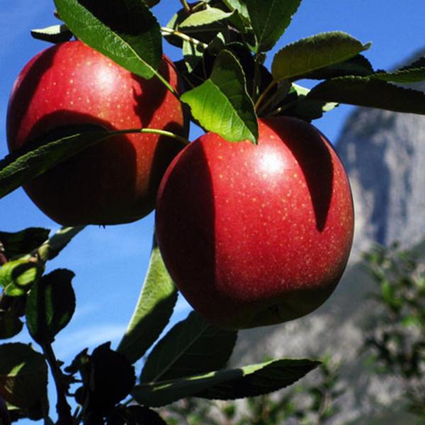 Rote Äpfel in der Sonne.
