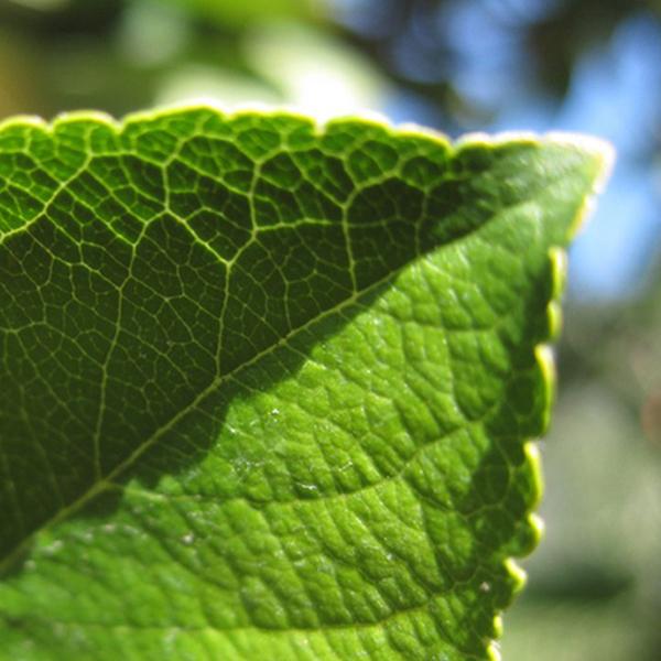 Die Nahaufnahme eins Blattes eines Apfelbaumes.